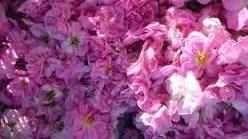Plantatie de trandafiri